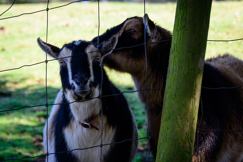 Two Friendly Goats