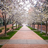 Cherry Blossoms on the Campus of SCCA