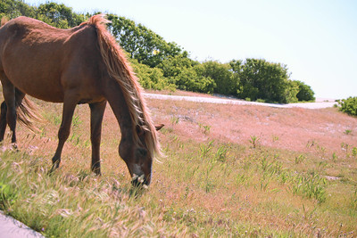 Graze; Assateague 2014