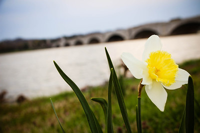 Daffodil Bridge