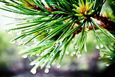 Pine Tears; Old Rag 2012