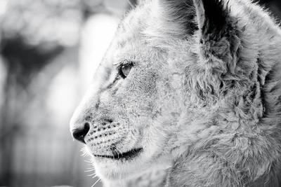 Regal; Lion Park South Africa 2014