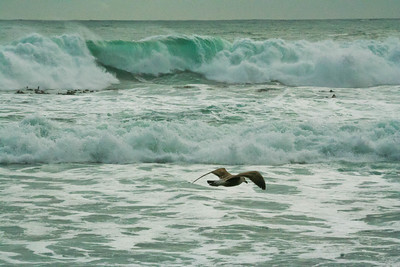 Seagull; Cape Point South Africa 2014