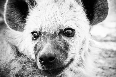 Hyena; Kruger National Park South Africa 2014