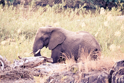 River Elephant; Kruger National Park South Africa 2014