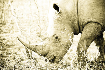 Rhino; Kruger National Park South Africa 2014