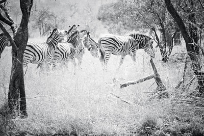 Zebra Herd; Kruger National Park South Africa 2014