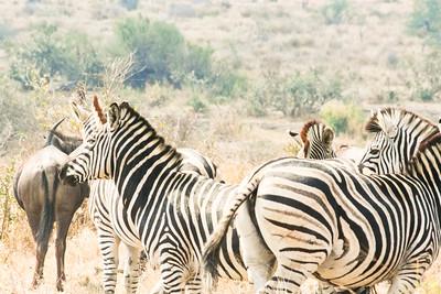 Zebra Herd; Kruger National Park 2014