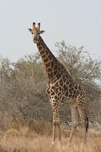 Bull Giraffe; Kruger National Park