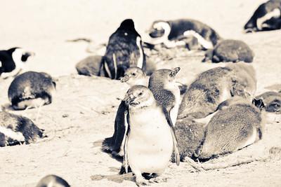Boulder Beach; Cape Town South Africa 2014