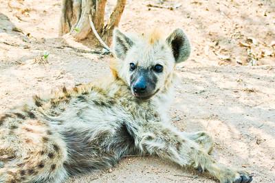 Spotted Hyena; Kruger National Park South Africa 2014