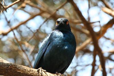 Bright Eyes; Kruger National Park South Africa 2014