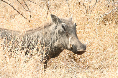 Warthog; Kruger National Park 2014