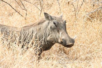 Warthog; Kruger National Park 2014