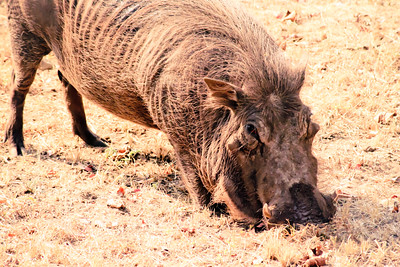 Warthog; Kruger National Park South Africa 2014