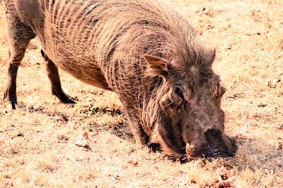 Warthog; Kruger National Park South Africa 2014