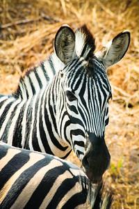 Zebra; Kruger National Park 2014
