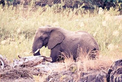 River Elephant; Kruger National Park South Africa 2014