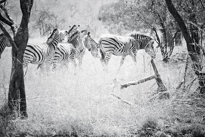 Zebra Herd; Kruger National Park South Africa 2014