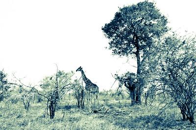 Lone Giraffe; Kruger National Park 2014
