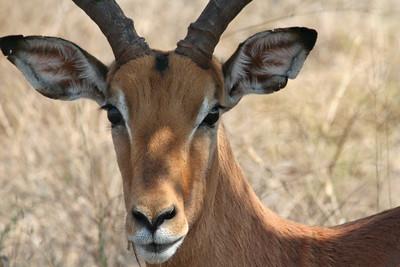 Spring Buck; Kruger National Park South Africa 2014