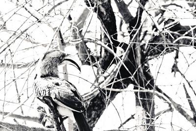 Hornbill; Kruger National Park South Africa 2014