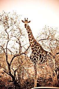 Giraffe; Kruger National Park 2014