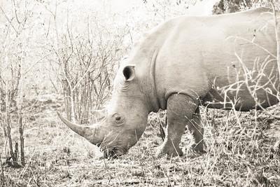 Silent Rhino; Kruger National Park 2014
