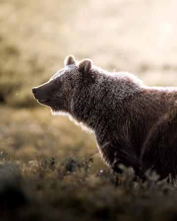 Teton Grizzly