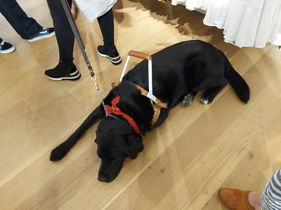 Molly Burke Talk - April 27th, 2019. Aerie Store. Stoneridge Mall. Pleasanton, CA, USA  Molly Burke​'s guide dog.  Accessibility: A photo of Molly Burke's guide dog, Gallop, napping on the floor.