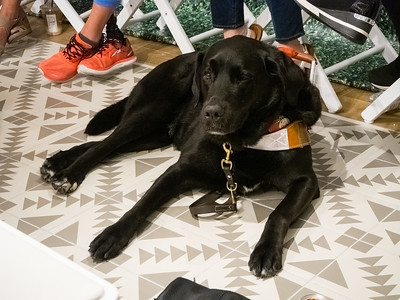 Molly Burke Talk - April 27th, 2019. Aerie Store. Stoneridge Mall. Pleasanton, CA, USA  Molly Burke​'s guide dog, Gallop.  Accessibility: A photo of Molly Burke's guide dog, Gallop, perked up, not looking directly at the camera, straight ahead.
