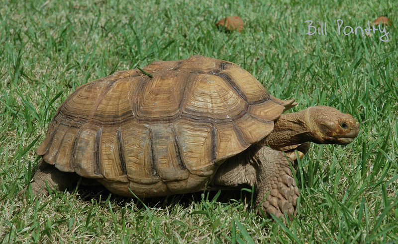 """Sulcata, African Spurred Tortoise, """"Spurs"""""""