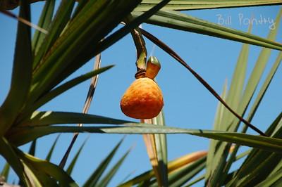 screw palm