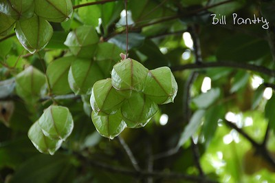 Chinese Lantern vine
