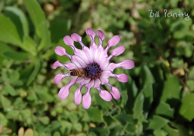Spoon petaled flower & bee