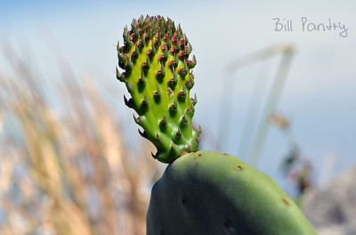 Prickly Pear, Giant Paddle