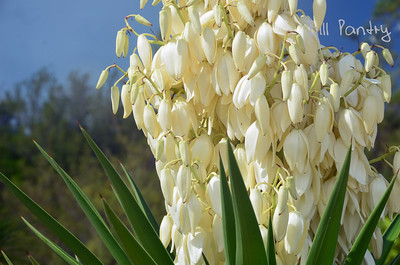 Spanish Bayonette in bloom