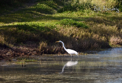 Great Egret at Spital Pond Nature Reserve, Smith's, Bermuda