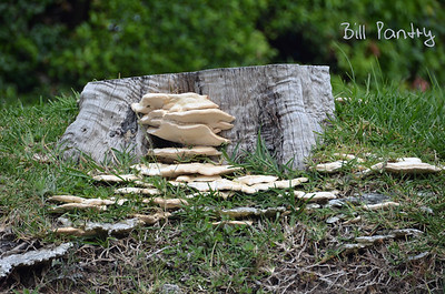 Tree fungi, Paget, Bermuda