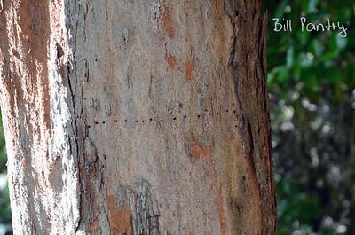 Casaurina trunk. Along the Railway Trail, Southampton, Bermuda