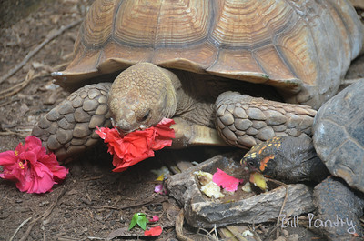 """Sulcata, African Spurred Tortoise, """"Spurs"""" and South American Red Foot, """"Darwin"""""""