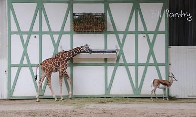 Giraffe, Amsterdam Zoo