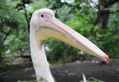 Pelican, Amsterdam Zoo