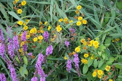 wild flowers, Elburg