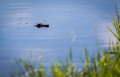 Alligator Turtle - July 17, 2017