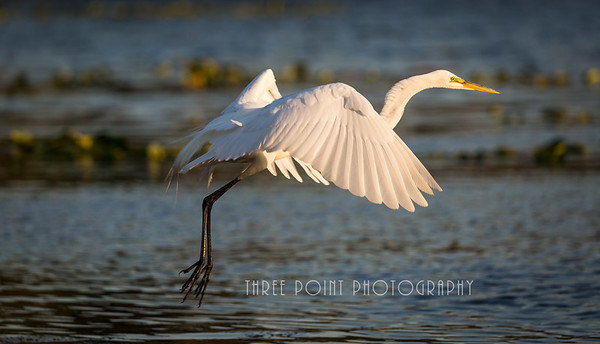 Great Egret - March 24, 2018