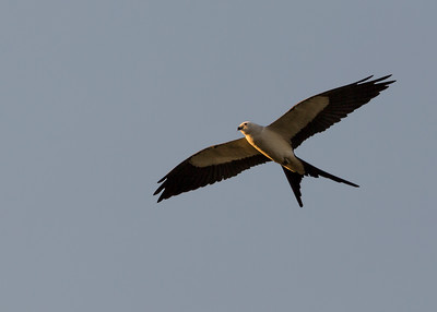 Swallow Tailed Kite - March 24, 2018
