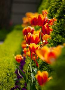 Tulips in the Hofgarten | Augsburg, Bayern Deutschland