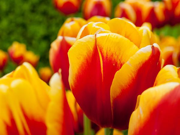 Hofgarten tulips | Augsburg, Bayern Deutschland