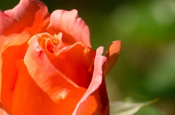 Rose in the Fugger courtyard   Augsburg, Bayern Deutschland